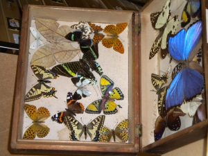 Figure 2. Butterfly case Booth Museum of Natural History, Brighton. Photograph by Susan Bishop.